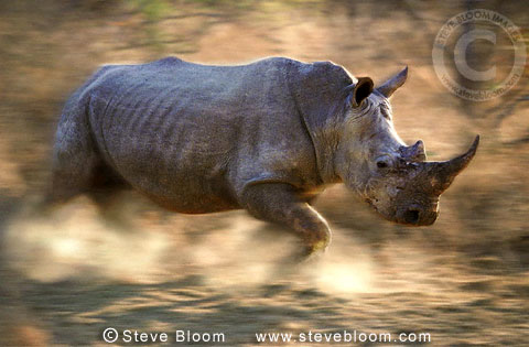 Charging white rhinoceros, Kapama Game Reserve, South Africa