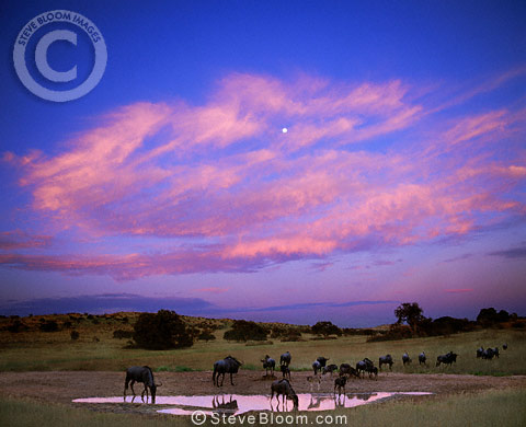 Wildebeest at dawn, Kalahari  National Park, South Africa
