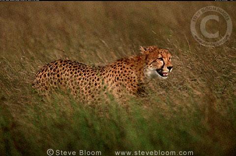Cheetah In Long Grass South Africa