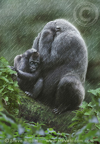 Western lowland gorilla mother and baby in the rain. (captive)