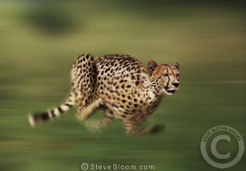 Running cheetah, South Africa