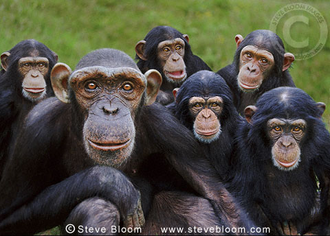Orphan chimpanzees, Monkey World ape rescue centre, UK