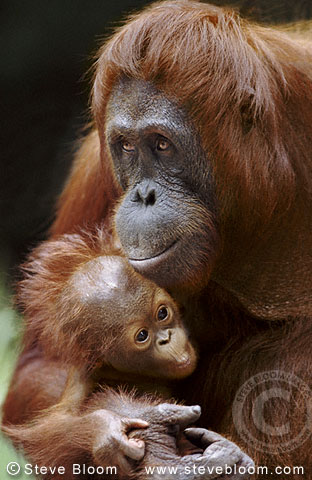 Bornean orangutan mother and baby, Tanjung Puting, Borneo