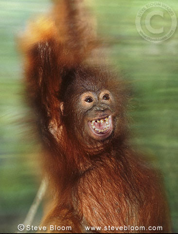 Young Bornean orangutan swinging through the trees, Borneo