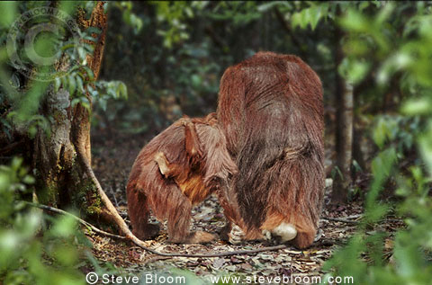 Male Bornean orangutan with female and her baby, Borneo