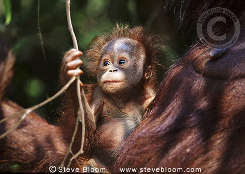Baby Bornean orangutan with mother, Tanjung Puting, Borneo