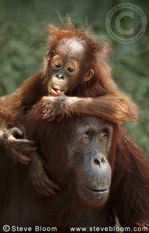 Baby Bornean orangutan on mother's shoulders, Tanjung Puting, Borneo