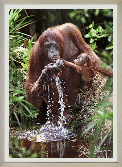 Mother and baby Bornean orangutan drinking, Tanjung Puting, Borneo