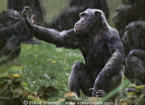 Chimpanzee with his hand out in the rain, Monkey World ape rescue centre, UK