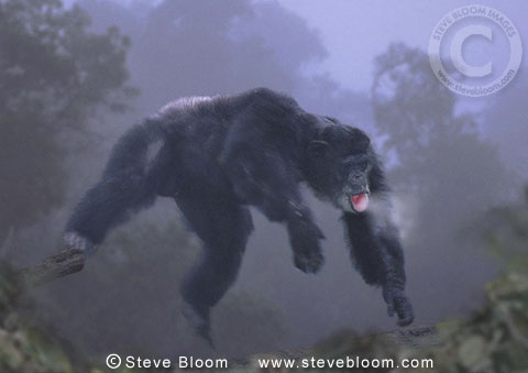 Chimpanzee leaping in the early morning mist. (captive)