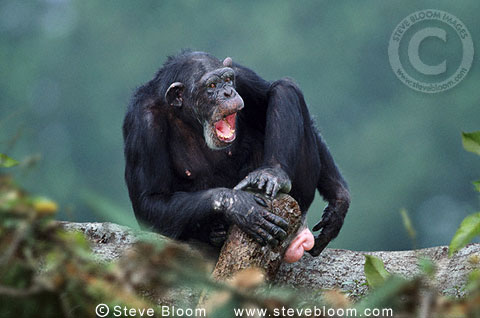 Female chimpanzee calling (captive)