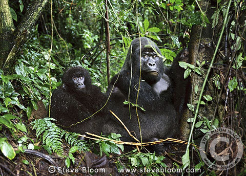 Mountain gorillas in the crater of an extinct volcano, Parc des Virungas, Democratic Republic of Congo