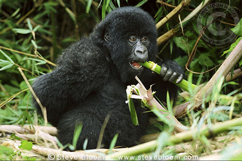Gorillas Eating Mountain gorilla eating bamboo