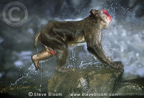 Snow monkey (Japanese macaque) leaping out of the water of the hot springs, Jigokudani National Park, Japan