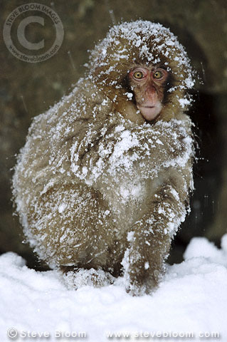 Snow monkey (Japanese macaque) in the snow, Jigokudani National Park, Japan
