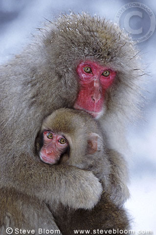 Mother and baby Snow monkeys (Japanese macaques), Jigokudani National Park, Japan