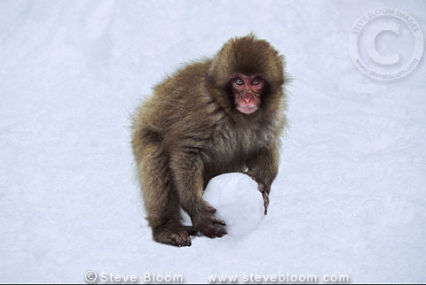 Japanese macaque (snow monkey) with snowball, Jigokudani, Japan