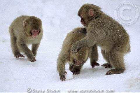 Monkey Making Snowball Making a Snowball Japan