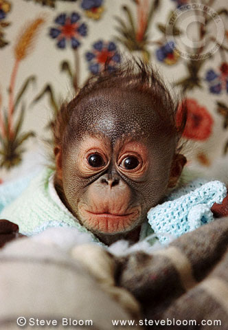 Baby sumatran orangutan, born in captivity, being hand reared after rejection by his mother.  Monkey World, Dorset, UK.