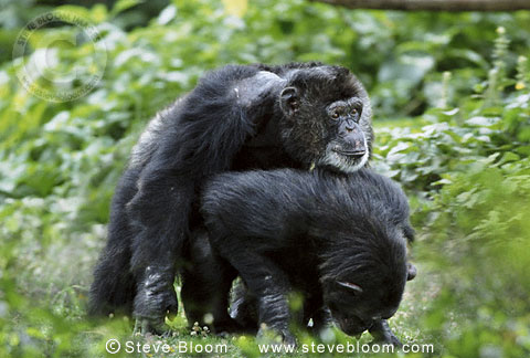 Related Keywords & Suggestions for Mating Apes