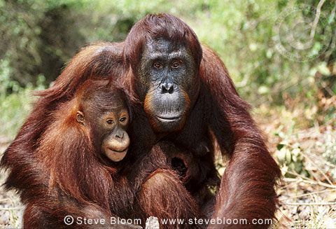 Young Bornean orangutan with mother, Borneo