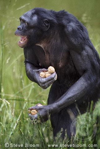 Bonobo with walnuts (Pygmy chimpanzee) (captive)