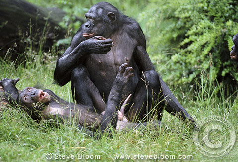 bonobo male and female about to mate captive