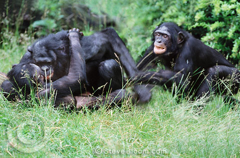 Bonobos Monkey Video Male Bonobo Monkey Mating Pair