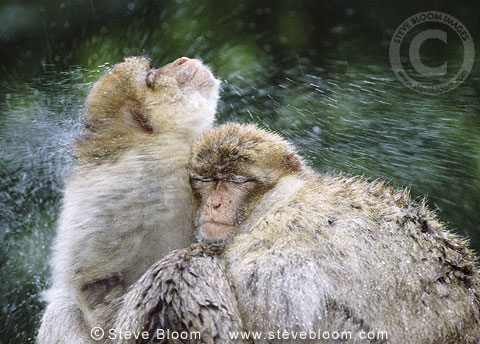 Barbary apes (rhesus macaques) shaking water from themselves (captive)