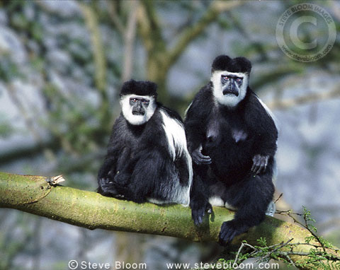 Black and white colobus monkeys, Elsamere, Kenya.