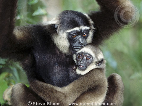 Dark-handed or agile gibbon and baby, Tanjung Putting, Borneo