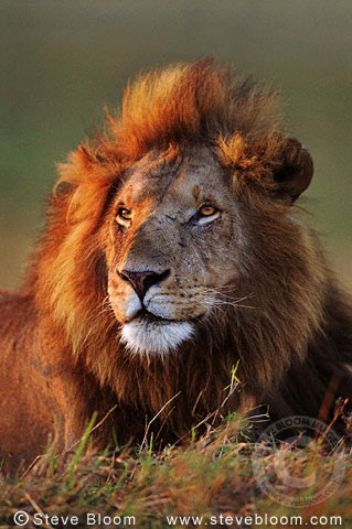 African Lion at sunrise, Masai Mara, Kenya