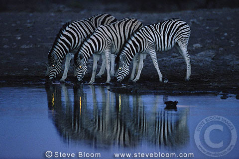 Zebras drinking from waterhole at night-time, Etosha National Park, Namibia