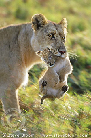 African lioness carrying  cub to safety, Masai Mara, Kenya