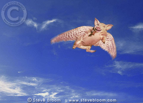 Flying pig (conceptual composite image)