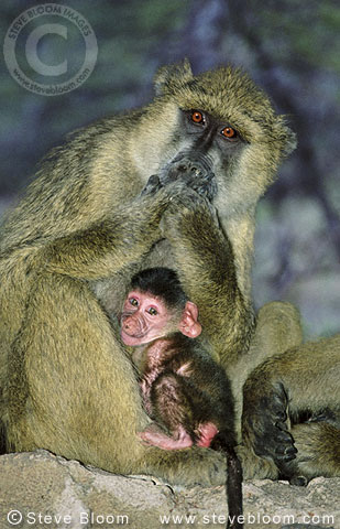 Yellow baboon and baby, Amboseli, Kenya