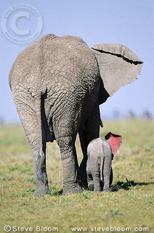 African elephant with week-old calf seen from the rear, Masai Mara, Kenya