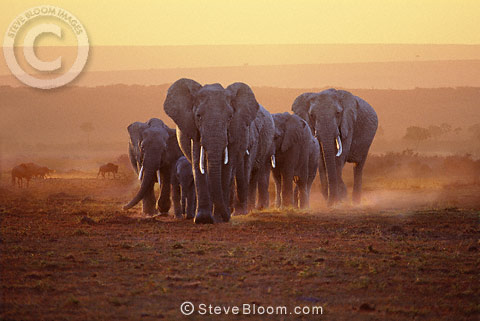 African elephant family at dawn, Masai Mara, Kenya