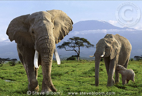 African elephant family and Mt.Kilimanjaro, Amboseli National Park, Kenya