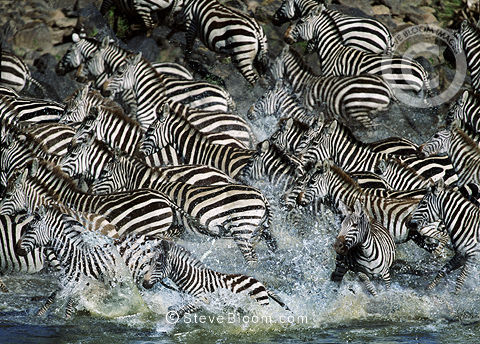 Zebras crossing Mara River during the Great Migration, Kenya