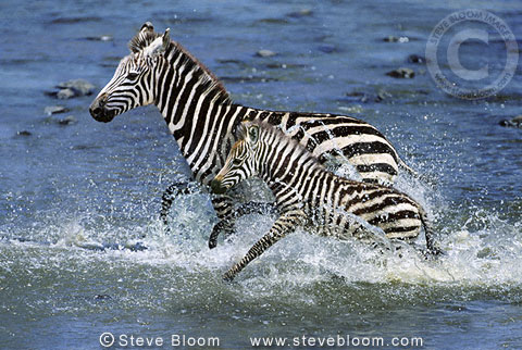 Burchell's zebraand young crossing Mara river, Kenya