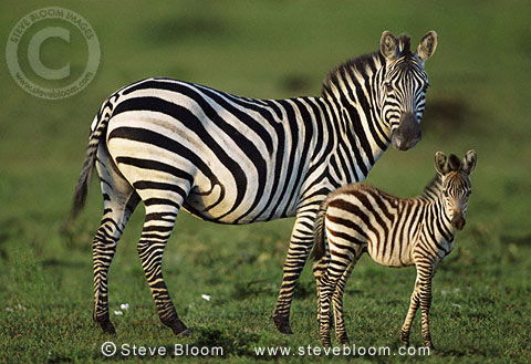 Mother and baby zebra,  Masai Mara, Kenya