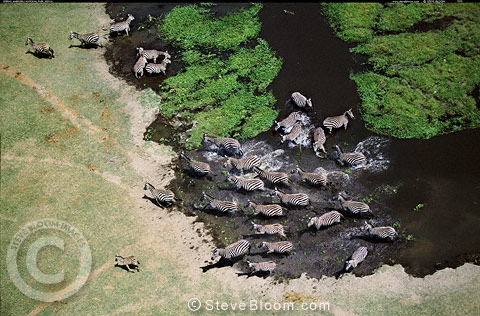 Aerial view of zebra herd disturbed at waterhole, Amboseli, Kenya