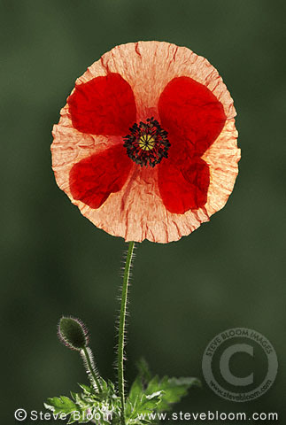 Poppy flower and bud (Papaver rhaeas)