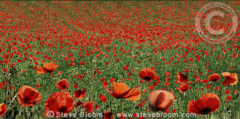 Field of red poppies, Kent, England