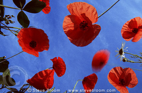 Red poppies against blue skies