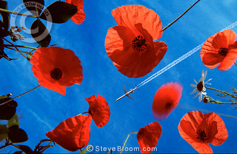 Poppies with aeroplane in background (Conceptual composite image)