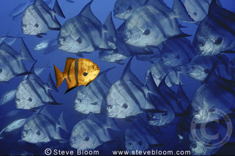 Single fish swimming in opposite direction to other fish (Conceptual composite image)
