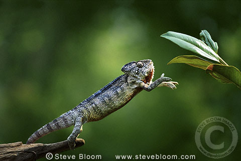 Chameleon reaching for branch (captive)