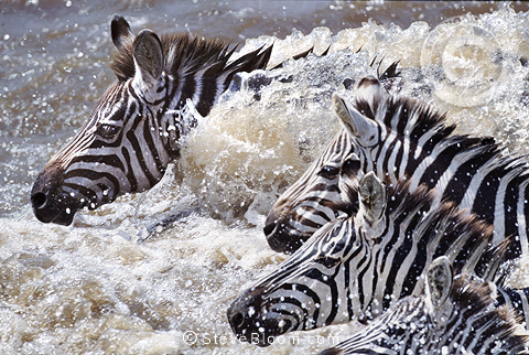 Zebras crossing Mara River on migration, Kenya